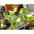 Ameizenpflanze 'Dischidia glaucescens'