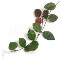 Ameizenpflanze 'Dischidia hirsuta'