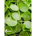 Ameizenpflanze 'Dischidia nummularia'