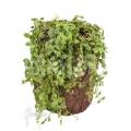 Ameizenpflanze 'Dischidia nummularia type B'