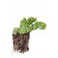 """Ameizenpflanze 'Dischidia nummularifolia """"Dragon Jade""""  'Starter' '"""