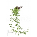 Ameizenpflanze 'Dischidia oiantha' 'M'