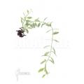 Ameizenpflanze 'Dischidia oiantha Variegata' 'M'