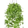 Ameizenpflanze 'Dischidia oiantha' 'XL'