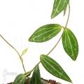Ameizenpflanze 'Dischidia ovata'