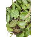 Ameizenpflanze 'Dischidia ovata' 'XL'