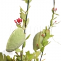 Ameizenpflanze 'Dischidia pectinoides'