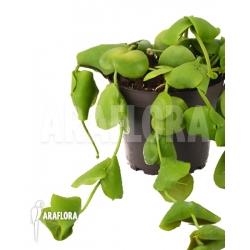 Dischidia platyphylla RT