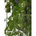Ameizenpflanze 'Dischidia ruscifolia'