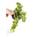 Ameizenpflanze 'Dischidia ruscifolia' 'starter'