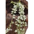 Ameizenpflanze 'Dischidia ruscifolia variegata'