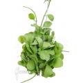 Ameizenpflanze 'Dischidia sp Geri'