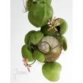 Ameizenpflanze 'Dischidia species Thailand'