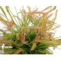 Sonnentau 'Drosera capensis'