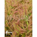 Sonnentau 'Drosera capensis 'L'