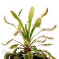 Sonnentau 'Drosera capensis 'Wide leaf'