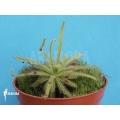 Sonnentau 'Drosera cistiflora'