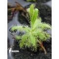 Sonnentau 'Drosera cistiflora' Starter'