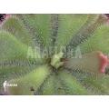 Sonnentau 'Drosera cuneifolia'