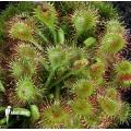 Sonnentau 'Drosera rotundifolia'