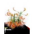 Sonnentau 'Drosera scorpioides'