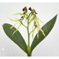 Orchidee 'Encyclia cochleata'
