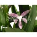 Orchidee 'Encyclia garciana' starter