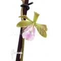 Orchidee 'Epidendrum floribundum'