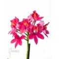 Orchidee 'Epidendrum radicans'