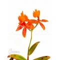 Orchidee 'Epidendrum radicans orange'