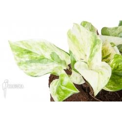 Epipremnum pinnatum 'Marble Planet'