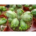 Euphorbia obesa f monstruosa