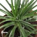 Bromelien 'Fasciculaire bicolor'