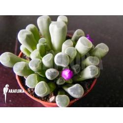 Fenestraria rhopalophylla subsp aurantiaca