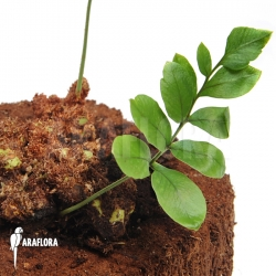 Fern species Gran Sabana