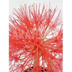 Haemanthus multiflorus flower
