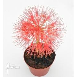 Scadoxus multiflorus ssp multiflorus 'S'