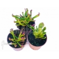 Sumpfkrug Heliamphora starter set 3 plants