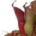 Sumpfkrug `Heliamphora ciliata (M)'