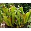 Sumpfkrug 'Heliamphora heterodoxa 'Gran sabana'