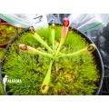 araflora exotic flora mehr. Black Bedroom Furniture Sets. Home Design Ideas