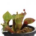 Sumpfkrug 'Heliamphora minor 'Giant' 'Auyan' 'M'