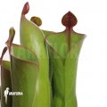 Sumpfkrug `Heliamphora neblinae var. parva (04H13)'