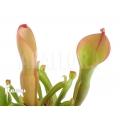 Sumpfkrug `Heliamphora nutans (L)'
