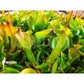 Sumpfkrug `Heliamphora nutans 'Adult plant'