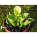 Sumpfkrug 'Heliamphora x heterodoxa x minor 'starter'