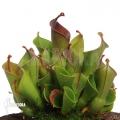 Sumpfkrug 'Heliamphora x heterodoxa x minor 'XL'