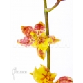 Orchidee 'Howeara Chian-Tzy Lovely'