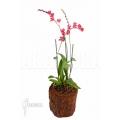 Orchidee Howeara x Lava Burst