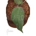 Hoya caudata (big leaf) 'leafcutting'